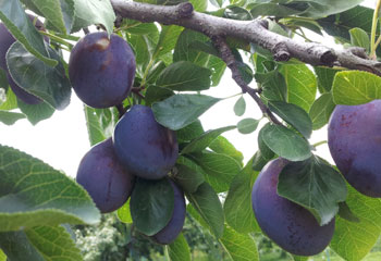長野県産完熟生プルーン 減農薬