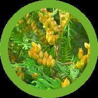 ヒノキ花粉の動き