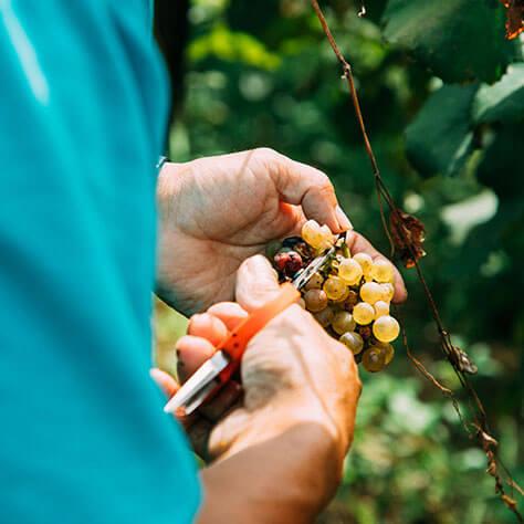 実りの時期を襲った台風19号<br>人とぶどうを育てるココ・ファーム・ワイナリーの実直なワインづくりとは