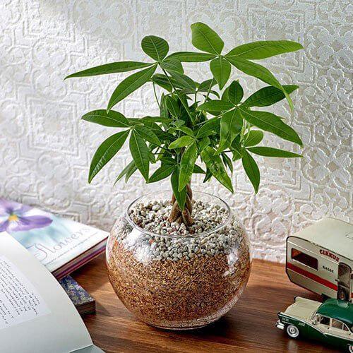 土を使わない観葉植物 パキラの写真