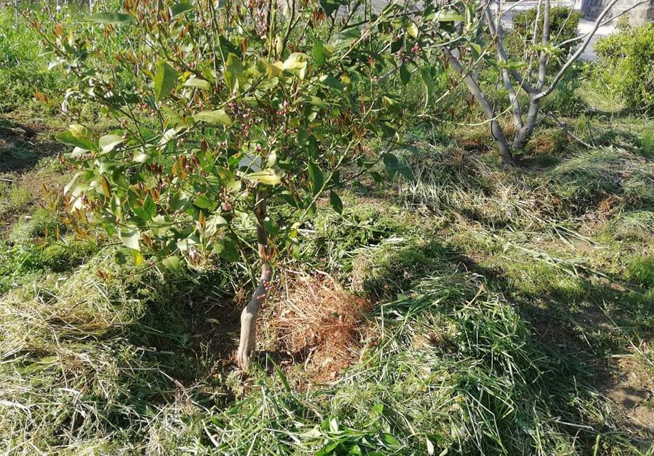 深瀬さんの畑より:植えたばかりのネーブルの木にドーナツ状に草マルチ