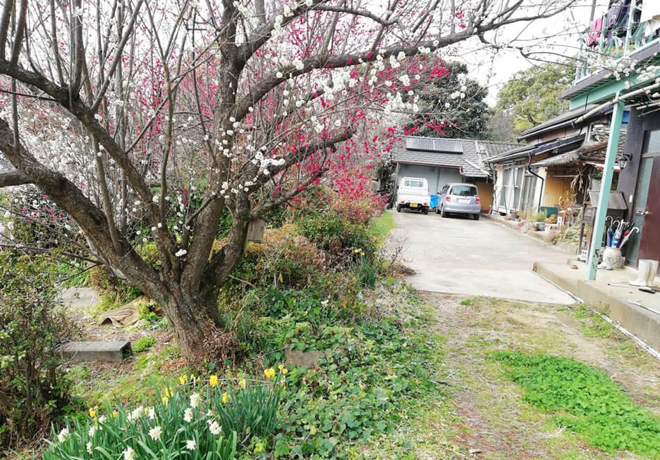 庭の梅の木と花々