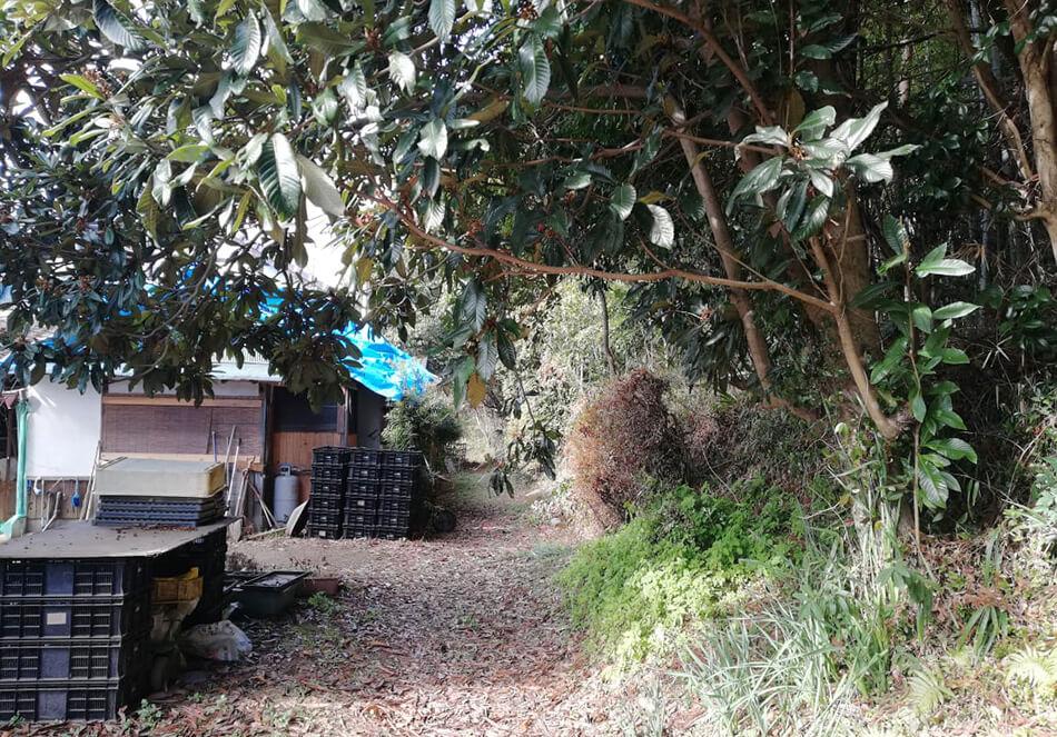 裏山とビワの木の様子