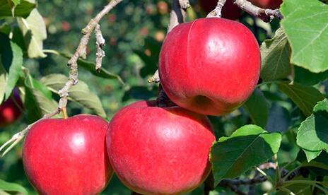 品種が選べる特別栽培リンゴ